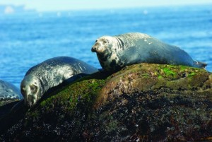 Grey Seals rocks