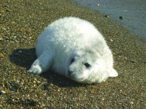 Grey seal pup whitecoat