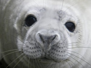 grey seal pup face